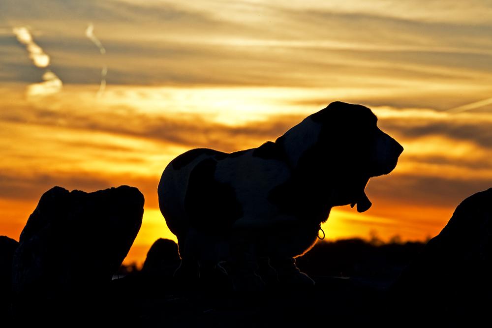 An Image of a Basset Hound