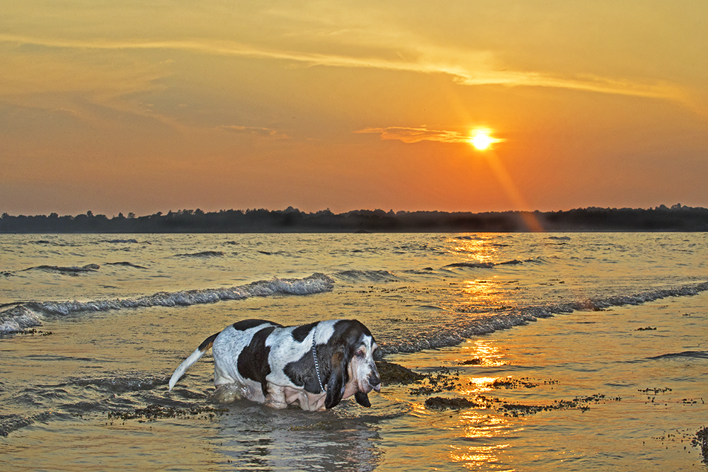 An Image of a Basset Hound